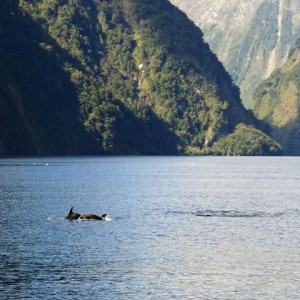Delfines en Doubtful Sound